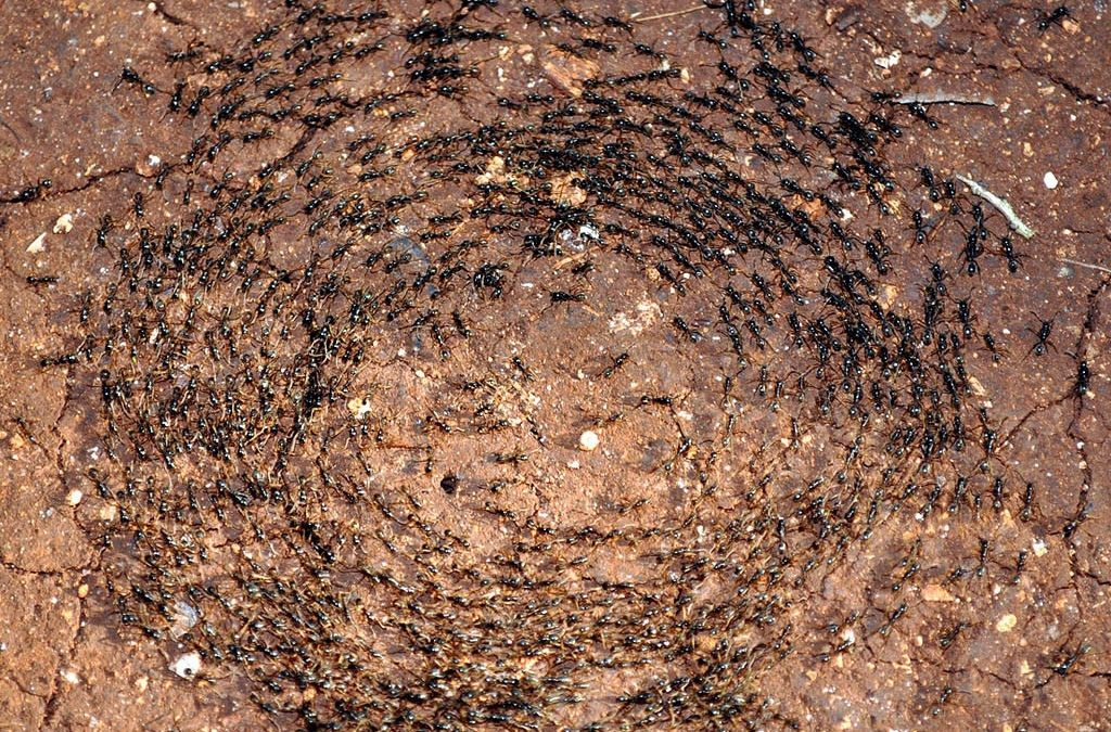 Ant Death Spiral: How To Make Ants Commit Suicide